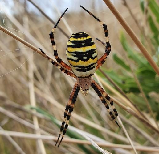 Dette billede har en tom ALT-egenskab (billedbeskrivelse). Filnavnet er hvepseedderkop.png